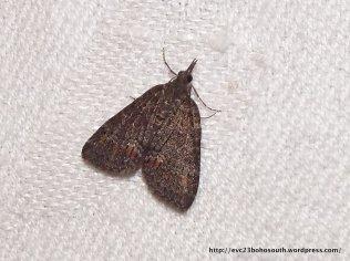 Microdes squamulata Geometridae, Larentiinae (ID P. Marriott)