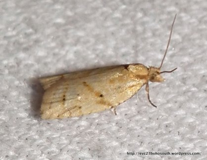 F. Tortricidae leaf-rolling moth