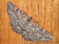 Ectropis fractaria (ENNOMINAE, GEOMETRIDAE) (ID P. Marriott)