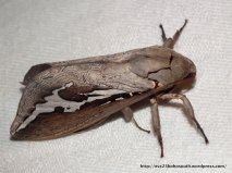 Ghost Moth (Abantiades labyrinthicus), Fam. Hepialidae.
