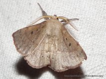 Anthela acuta, Fam Anthelidae
