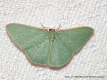 Double-fringed Emerald (Chlorocoma dichloraria)