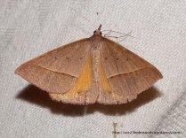 Epidesmia chilonaria Oenochrominae s. lat