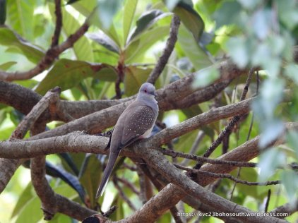 Sitting calmly in the Loquat Tree.e