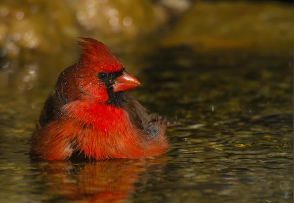 northern-cardinal_kk_apa_2013_28408_227009_taratanaka