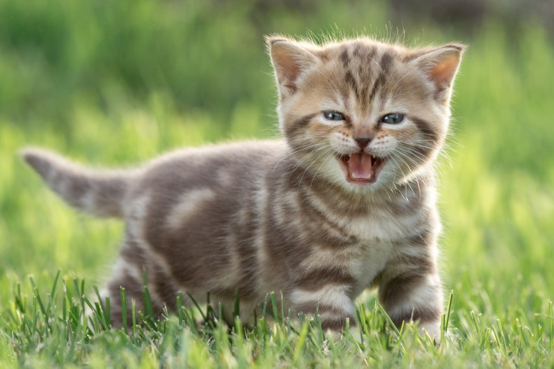 Little funny cat meowing in green grass