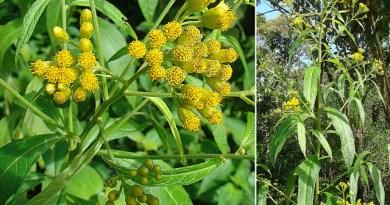 Une plante des Antilles efficace contre le Covid ?