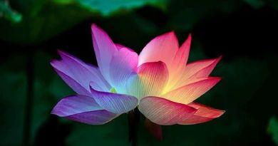 Le lotus de l'Amour s'épanouit en vos cœurs