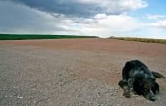 The Farm Manager's Dog Grant Farms, Colorado © Eve Bernhard. July, 2011