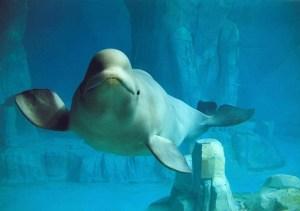 The Aquarium in Valencia, Spain-Beluga in aquarium tourism destinations