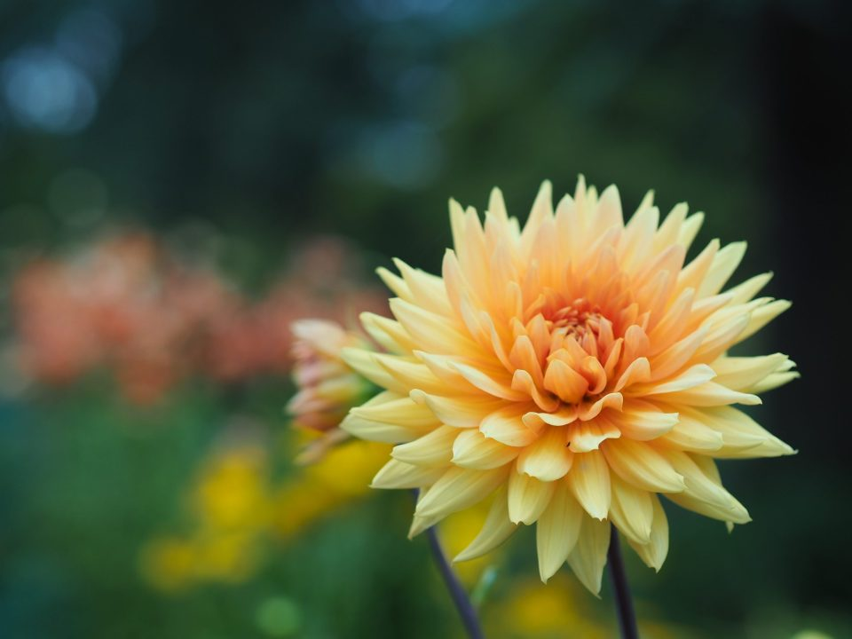 close up of pretty yellow and orange flower