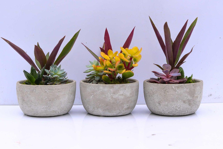 Succulent sample crepe myrtles display screening event plants hire melbourne