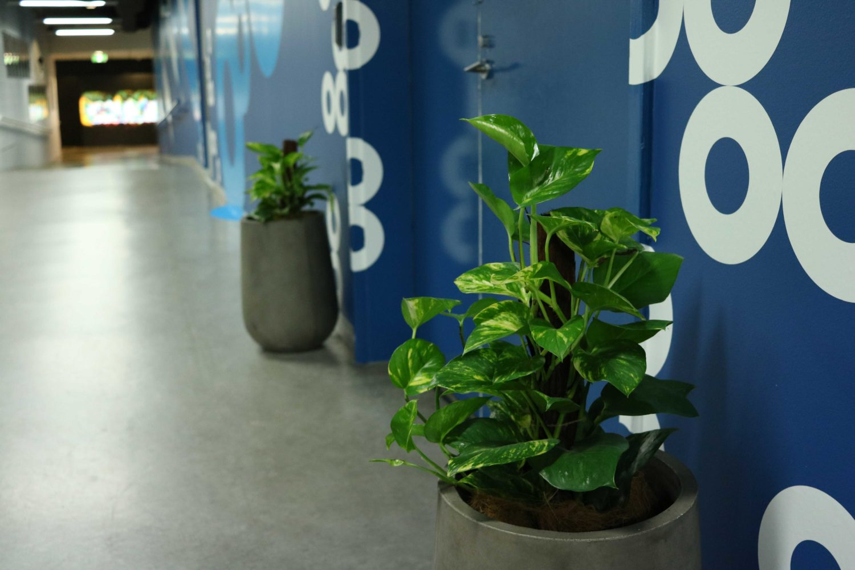 Devils ivy concrete pots indoor event plants melbourne hire