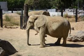 Afrikansk elefant i Barcelona Zoo