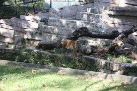 Tiger i Barcelona zoo