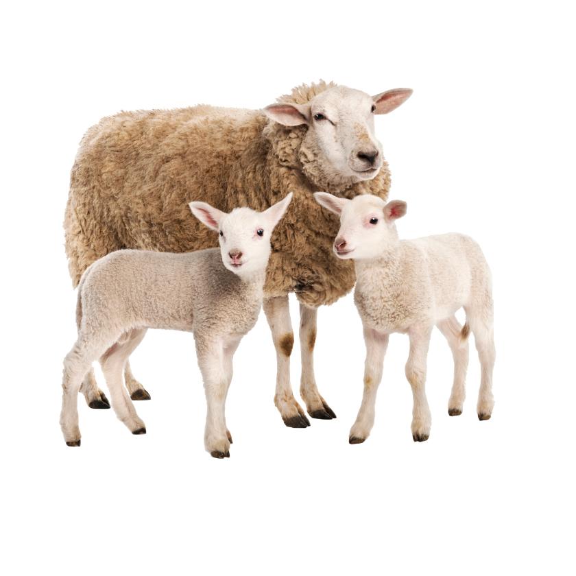 Schaf und Lämmer