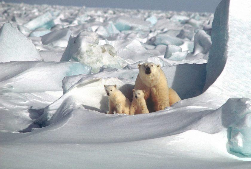 Krafttier Eisbär