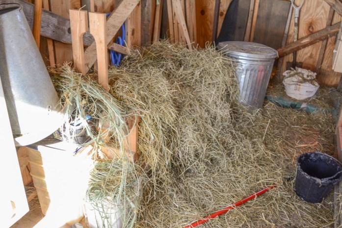 20150211_animals_goats_hay_001_small
