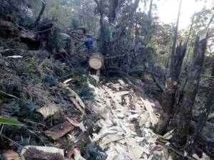 लकडाउनको मौका छाेपी बझाङमा व्यापक वन फडानी (तस्बिरसहित)