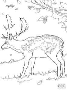 Deer Coloring Pages Free Realistic Deer Printable