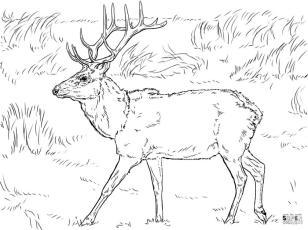 Deer Coloring Pages Realistic Deer Printable