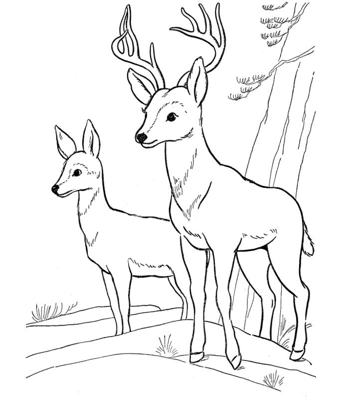 Deer Coloring Pages to Print A Couple of Deers in the Wild