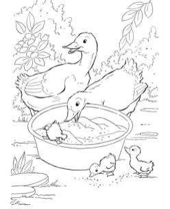 Duck Coloring Pages A Duck Family Eating