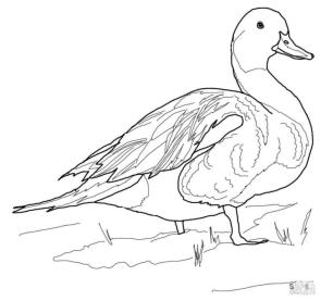 Duck Coloring Pages Northern Pintail Duck