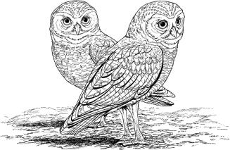 Free Owl Coloring Pages for Adults ro22
