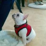 small dog with vest