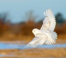 Betty-Holling-snowy-owl-Wildliferunup1219