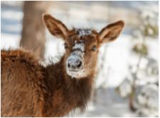snowdeer-oltman