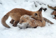 Donna-Dannen Foxes-in-the-Snow