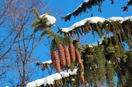 pinecones on snow covered branch in November