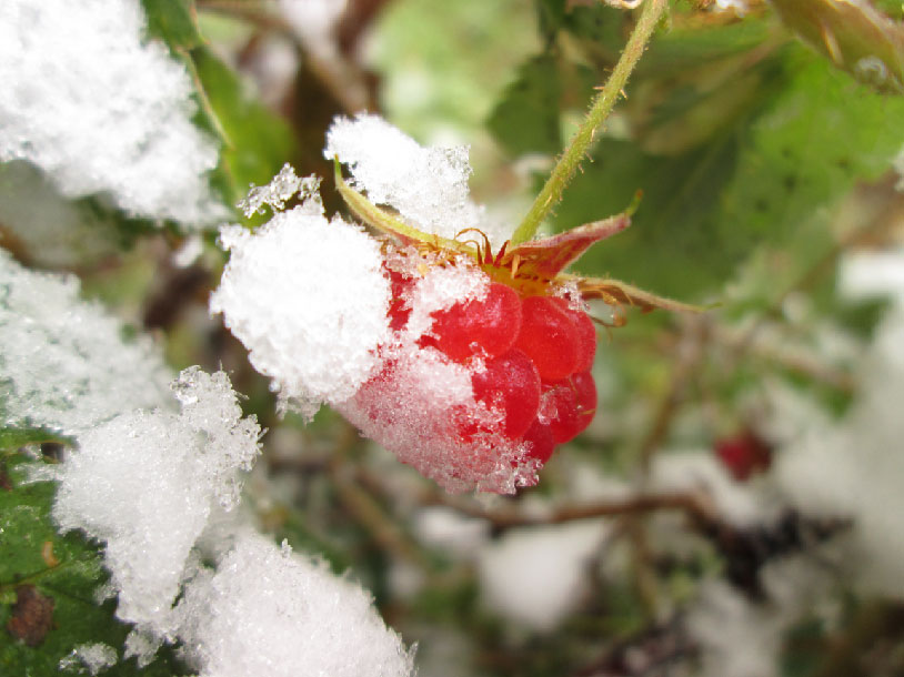 snow covered raspberry winter rest
