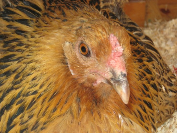 broody chicken