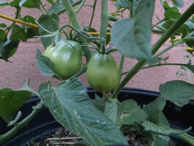 Japanese Black tomato