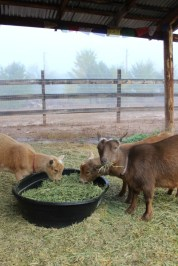 Goats in the mist