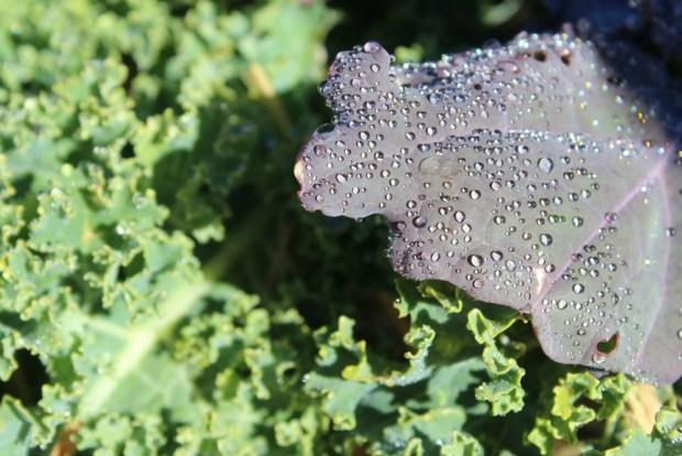 Melting frost on kale
