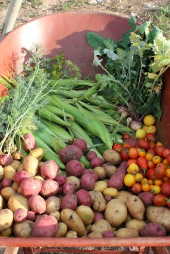 Potato and corn harvest