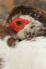 Muscovy Duck Cuddles - Kitty