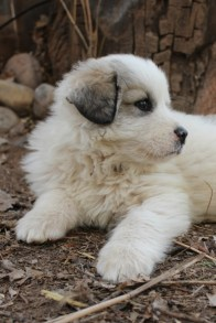 Great Pyrenees Puppy