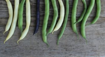 Bush Bean harvest