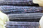 Blue Corn Harvest (3)