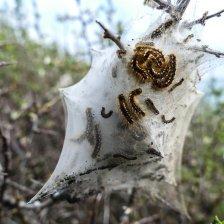 caterpillar-2251257_1920-150x150 La Procesionaria: Un peligro para nuestros perros