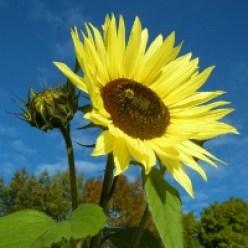 Image: Sunflower
