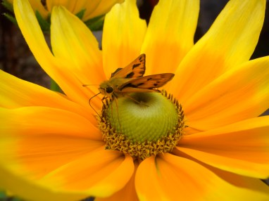 Image: a small Butterfly on a yellow and orange flower