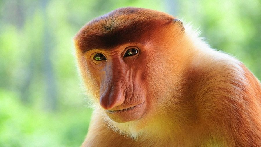 Image: Proboscis Monkey looking deeply at the camera