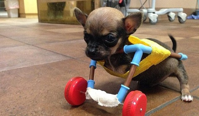 Image: puppy with no front legs attached to a wheeled contraption