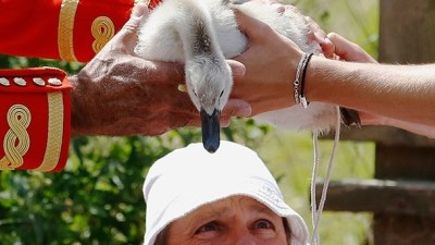 Image: Swan-Upping ceremony